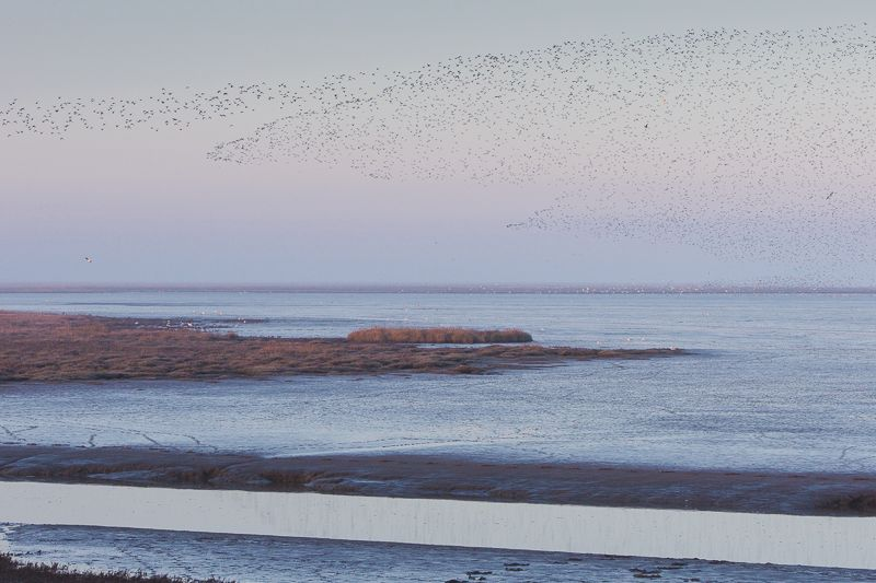 Knot flock at dawn