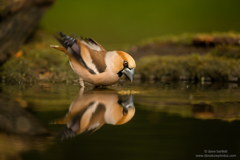 Hawfinch reflection
