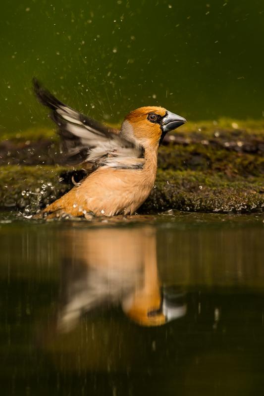 Hawfinch bathing