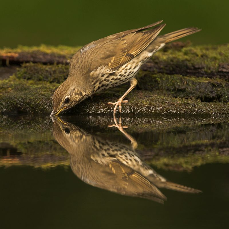 Songthrush reflection