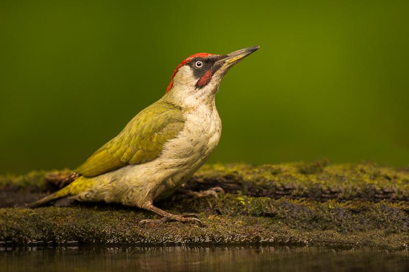 Green woodpecker portrait