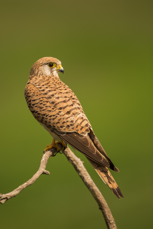 Kestrel (female) perched
