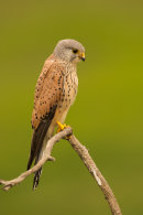 Kestrel (male)