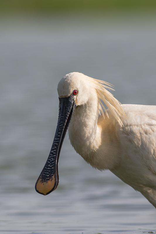 Spoonbill close up