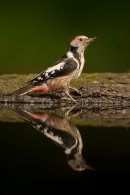 Middle spotted woodpecker reflection