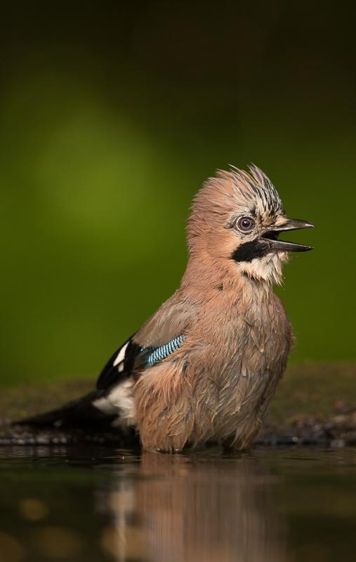 Jay bathing