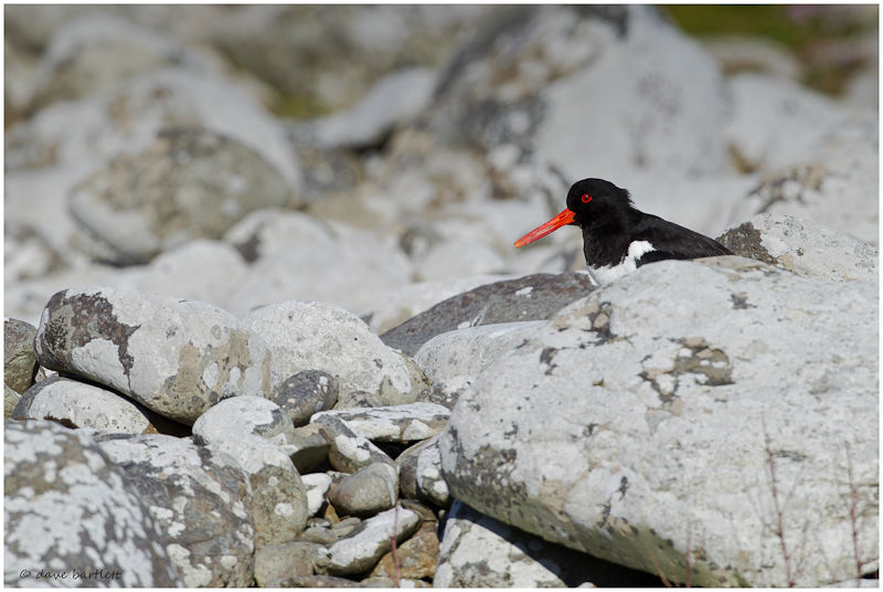 Oystercatcher in rocks