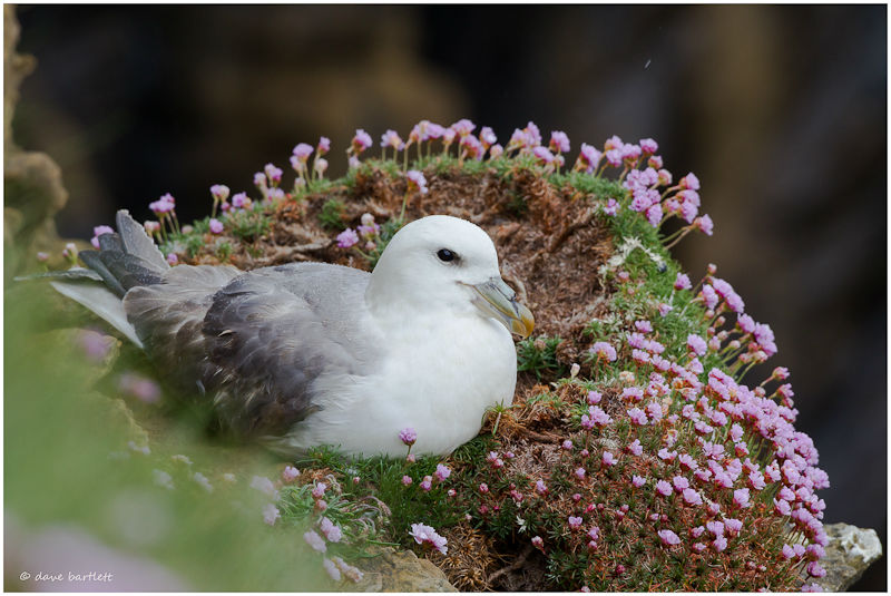 Fulmar in thrift
