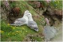 Fulmar pair