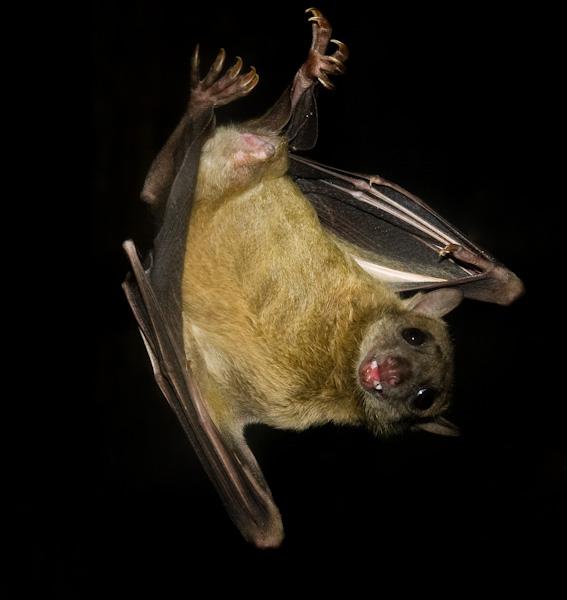 Acrobatic fruit bat