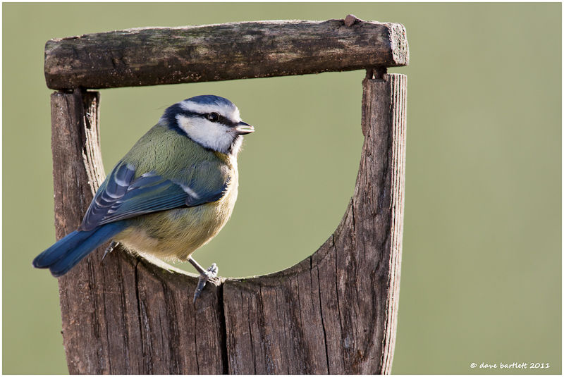 Blue tit in spade handle