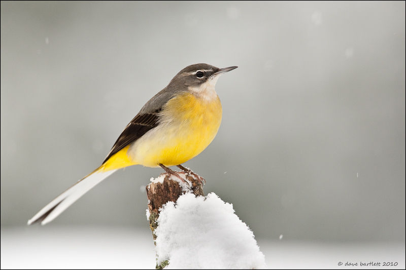 Grey wagtail in the snow