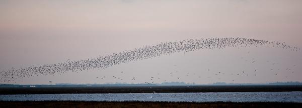 Knot flock over Snettisham