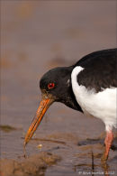 Oystercatcher with worm