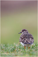 Turnstone portrait