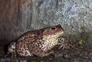 009 Common Toad (Bufo Bufo) .