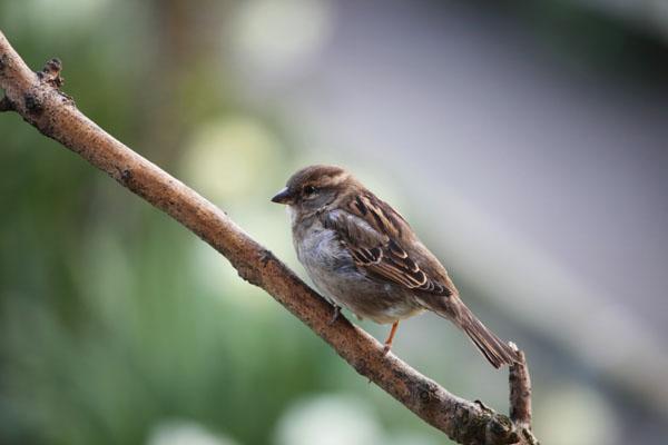 01D-0278 Female House Sparrow Passer Domesticus