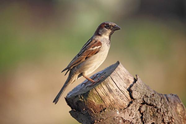 01D-0297 Male House Sparrow Passer Domesticus