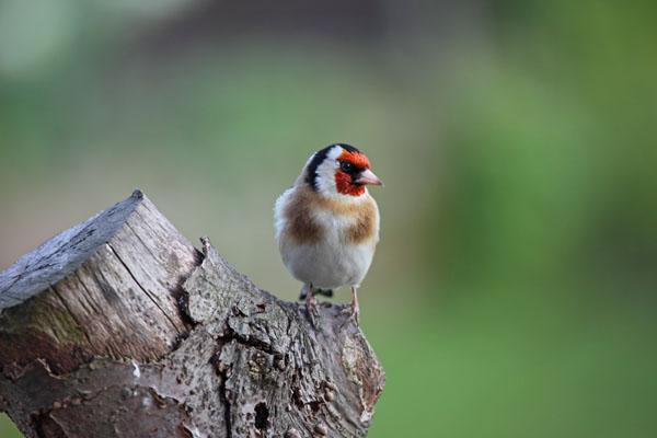 01D-0301 Goldfinch Carduelis carduelis