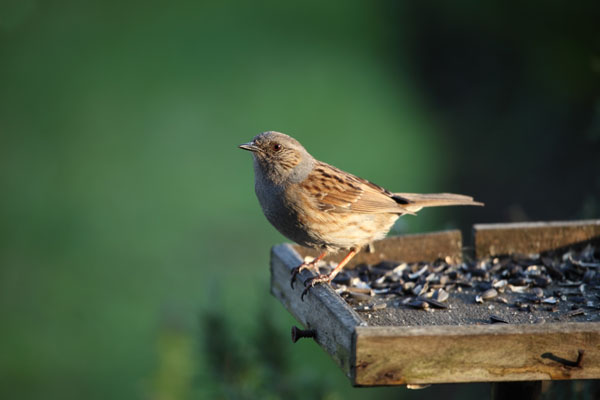 01D-0304 Dunnock Prunella Modularis on Garden Bird Table