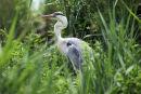 01D-1924 Grey Heron Ardea cinerea