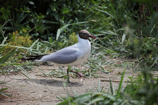 01D-1943 Black-Headed Gull Larus ridibundus