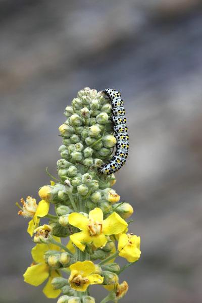 01D-3689 Mullein Moth Caterpillar Shargacucullia Verbasci