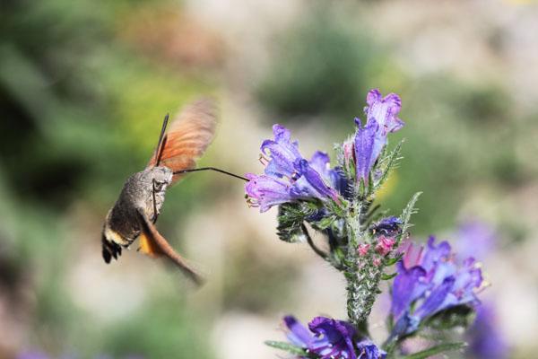 01D-3955 Humming-Bird Hawk-Moth Macroglossum Stellatarum Feeding on Viper's Bugloss Echium vulgare.
