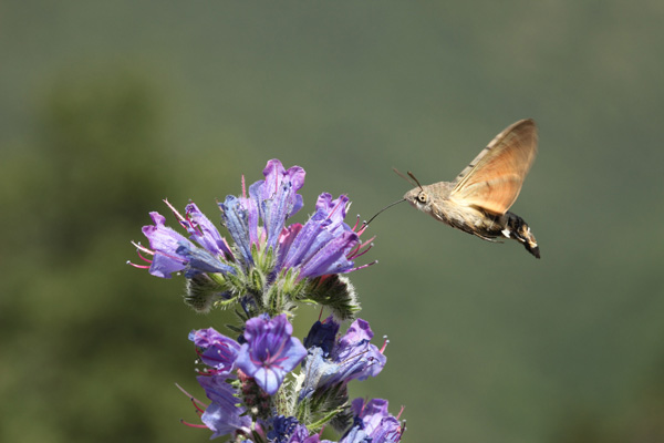 01D-3966 Humming-Bird Hawk Moth Feeding on Viper's Bugloss