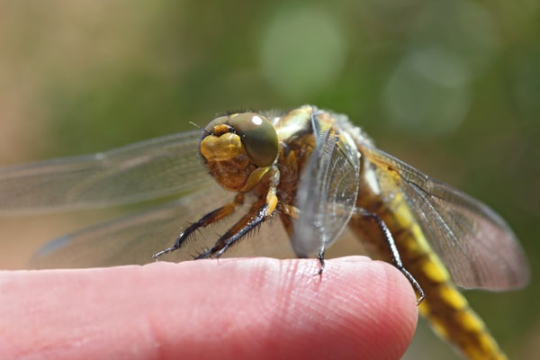 01D-4868 Immature Broad-Bodied Chaser Dragonfly Libellula depressa