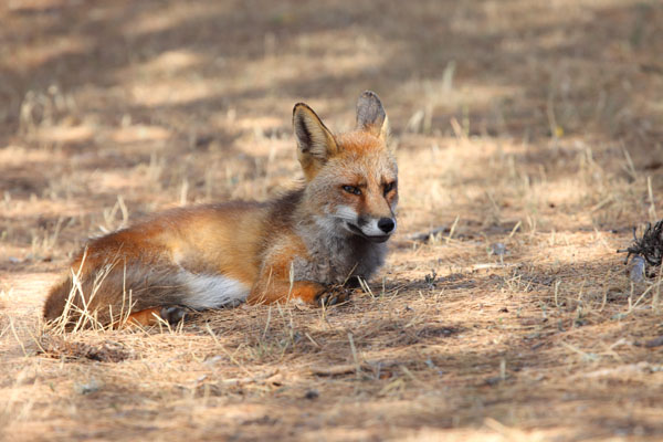 01D-5698 Male Red Fox Vulpes Vulpes