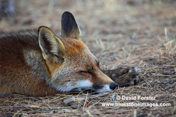 01D-5784 Red Fox Vulpes vulpes Sleeping