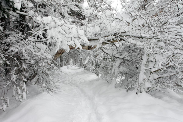 01D-8832 Winter Woodland Glenmore Forest Rothiemurchus Cairngorms Scotland