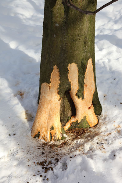 01D-9342 Tree Damage Caused by Rabbits Gnawing the Bark During an Extended Period of Harsh Winter Weather