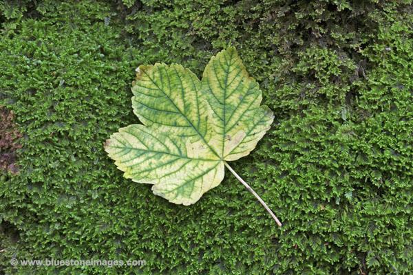 01M-1386 Sycamore Leaf Acer pseudoplantus