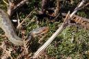 02D-1745a Young Adder Vipera Berus in Moorland Habitat United Kingdom