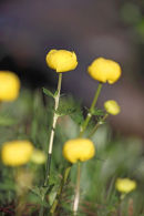 02D-3995 Globe Flower Trollius europeus Upper Teesdale County Durham.