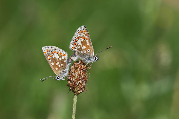 02D-5400 Male and Female Durham Argus Aricia artaxerxes salmacis Butterflies Mating North East England United Kingdom