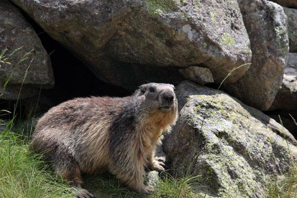 02D-6299 Alpine Marmot Marmota marmota Pyrenees France