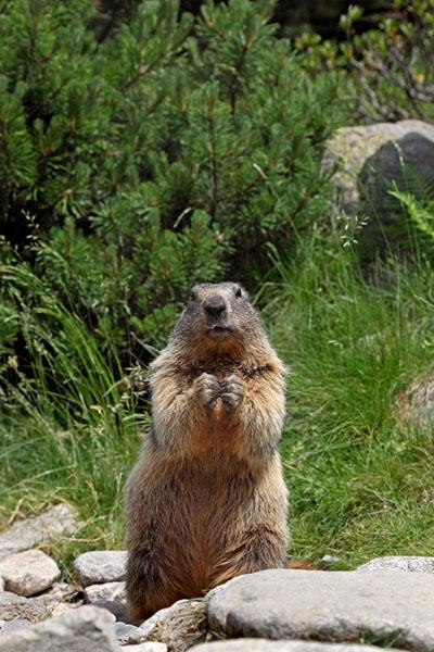 02D-6342 Alpine Marmot Marmota marmota in Upright Posture Pyrenees France.