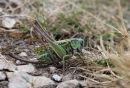02D-7421 Female Wart-Biter Decticus verrucivorus Bush Cricket.