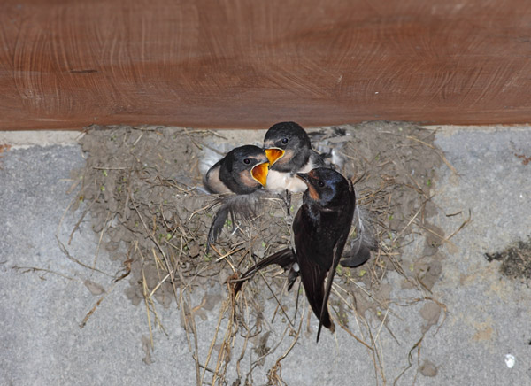 02D-8623a Adult Swallow Hirundo rustica Feeding its Young at the Nest United Kingdom