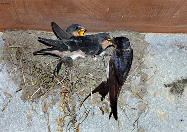 02D-8737 Adult Swallow Hirundo rustica Feeding its Young at the Nest United Kingdom