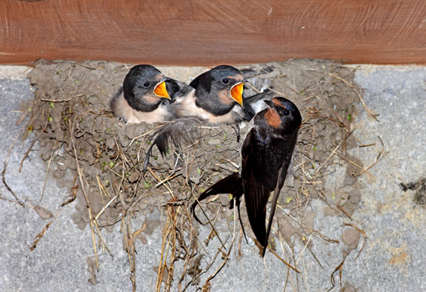 02D-8743 Adult Swallow Hirundo rustica Feeding its Young at the Nest United Kingdom
