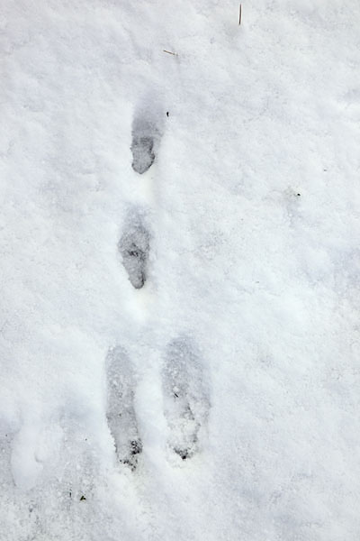 02D-9681 Close Up of Rabbit Footprints in Snow. Direction of travel towards camera
