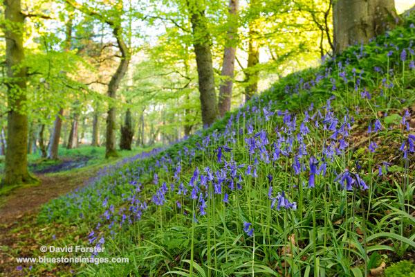 02M-1835 Bluebells Hyacinthoides non-scripta Upper Teesdale County Durham UK