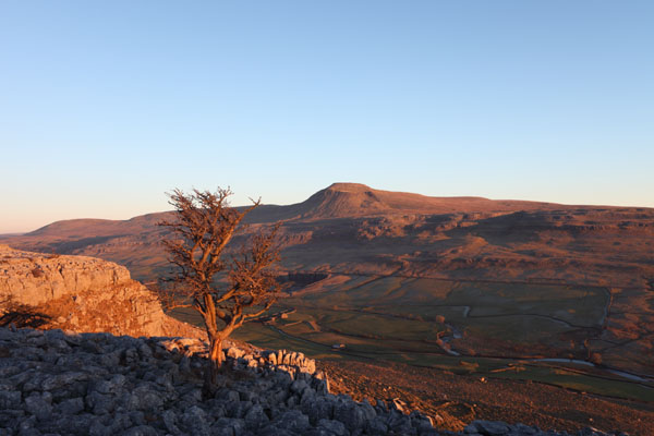 03D-0663 Hawthorn Tree and the Mountain of Ingleborough in Evening Light From Twistleton Scars Yorkshire Dales UK