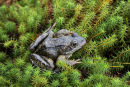 03D-1024 Common Frog Rana temporaria