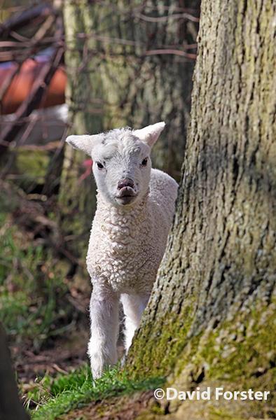 03D-1496 Kissing Lamb.