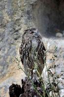 03D-2065 Eagle Owl Bubo bubo (Captive)